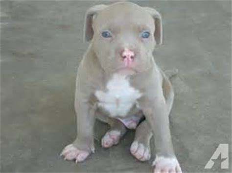 8 week pitbull puppy 8 week fawn blue pitbull puppies 2 left for sale in ala coushatta indian