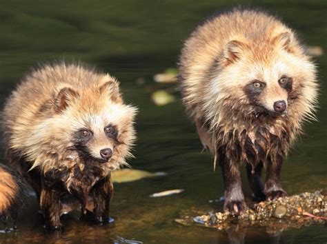 are foxes related to dogs what the heck is a tanuki 8 things you didn t about raccoon dogs mnn