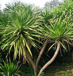 Pohon Keladi Putih Keladi Hias tanaman hias daun pohon keladi hias tukang taman karya
