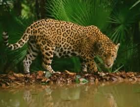 Jaguars In Belize 1000 Ideas About Cockscomb Basin Wildlife Sanctuary On