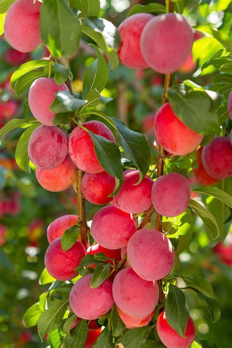 flowering plum tree fruit best 25 plum tree ideas on pruning plum trees