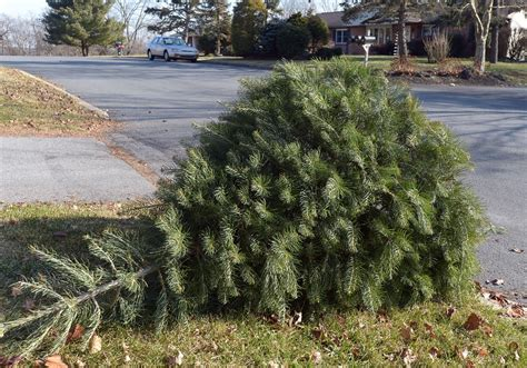 municipalities prepare for christmas tree pick up the