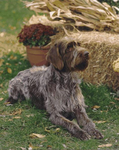 wirehaired pointing griffon puppy lovely white wirehaired pointing griffon photo and wallpaper beautiful lovely