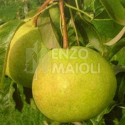 m fruit srl production and sell cipolla di san michele wide choise of