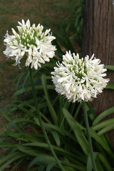 file agapanthus africanus white jpg wikimedia commons