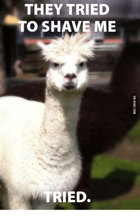 Shaved Llama Meme - memes for shaved llama meme www memesbot com