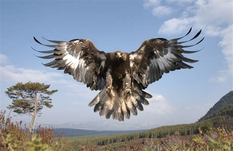 imagenes reales red wings 19 bernard golden eagles