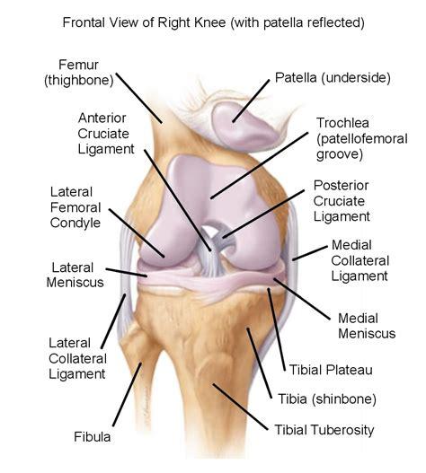 diagram of the knee meniscus knee injuries
