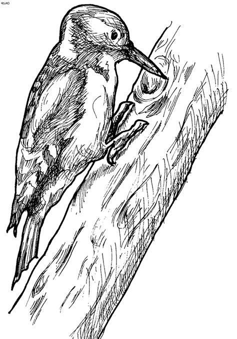 free coloring pages of downy woodpecker