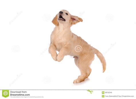 your purebred puppy golden retriever purebred golden retriever royalty free stock images image 38732249