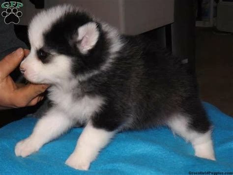 pomeranian husky for sale ohio 113 best images about pomsky puppies for sale on