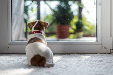 leaving a puppy alone at home for the time how to handle and manage your puppy when you come home after leaving them alone