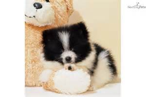 Pomeranian puppy for sale near columbus ohio c11b04fc e6d1