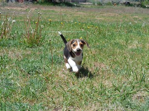 elizabeth pocket beagle puppies for sale elizabeth pocket beagles tiny beagle puppies for sale