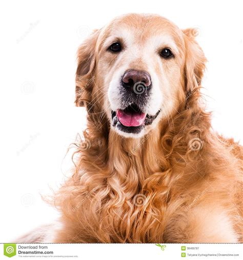 purebred golden retriever puppy purebred golden retriever royalty free stock photography image 38469787