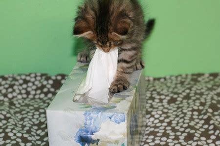 keeps sneezing ahhh choo why does my kitten keep sneezing petful