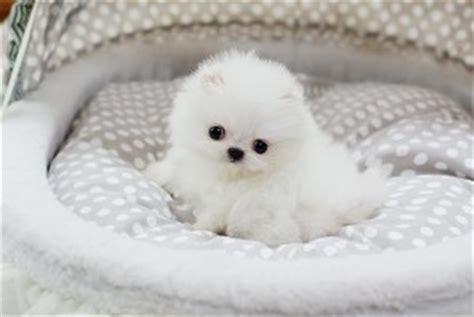 akc teacup pomeranian puppies for sale lovely baby akc registered teacup pomeranian puppies for sale alma ar