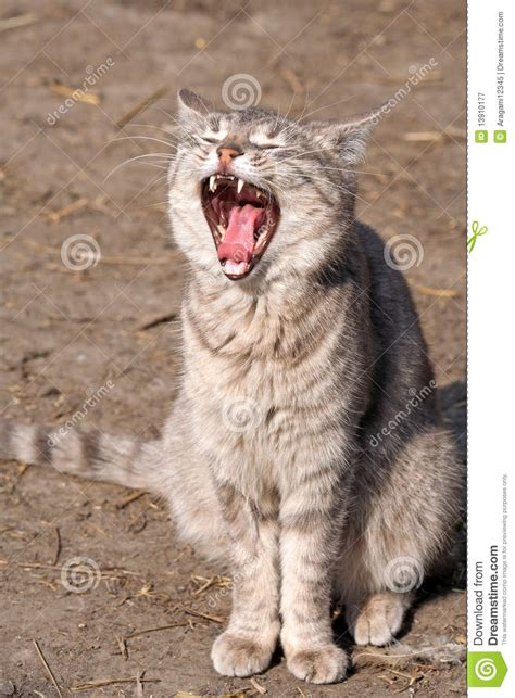 cat  open mouth royalty  stock photography image