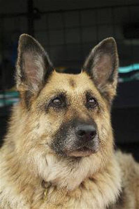retired dogs how to adopt retired dogs pets