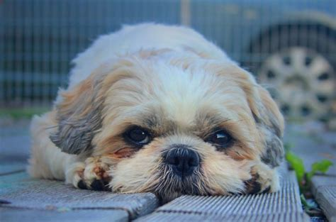 shih tzu easy to and easy way to teach your shih tzu a house medium