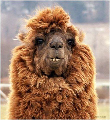 Gorgeous Alpaca From by Beautiful Alpacas And Jaja On