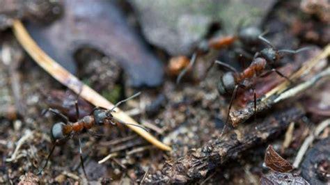 mittel gegen ameisen im garten lassen sich ameisen mit kr 228 uterpflanzen vertreiben wohnen