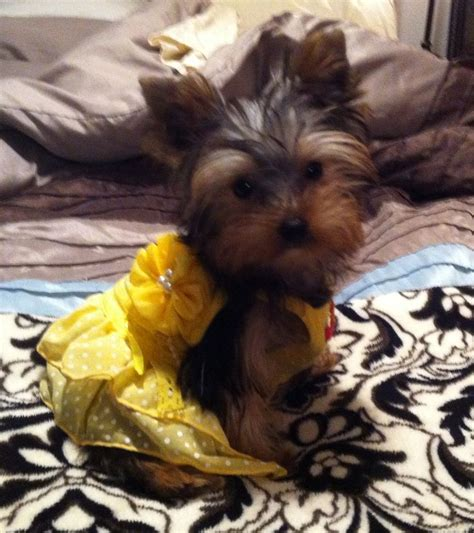 yorkie dressed up dress up yorkie poos dress up and dresses