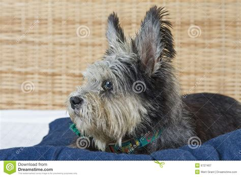 scruffy breeds scruffy royalty free stock photography image 6727407