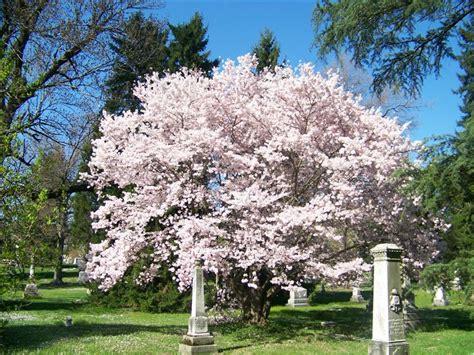 prunus yedoensis yoshino cherry on plantplaces com