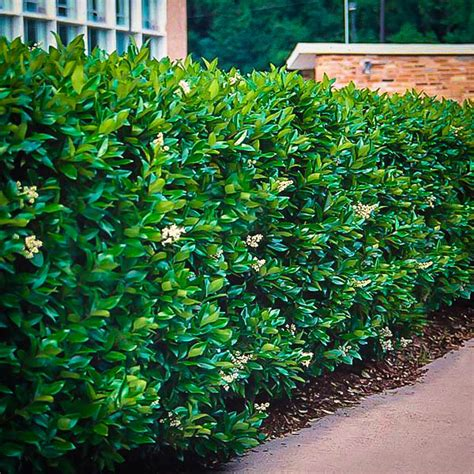 Japanese Gift by Waxleaf Privet The Tree Center