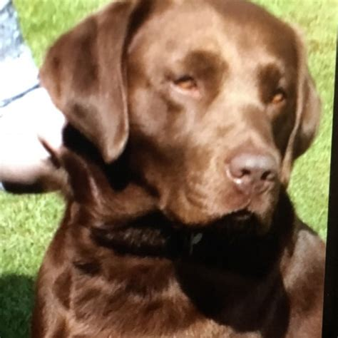 chocolate sale chocolate labrador for sale great missenden