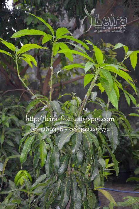 Bibit Mangga Kombinasi mangga kombinasi satu tanaman beragam varietas leira
