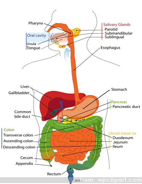 digestive tract diagram 2010 2011 digestive tract
