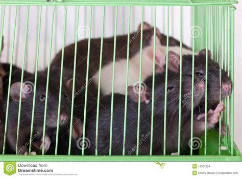 gabbia ratti ratti in gabbia immagini stock immagine 18307904