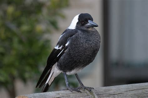 magpie birds in backyards australian magpie birds in backyards