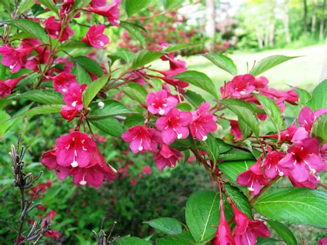 weigela plant care guide auntie dogma s garden spot