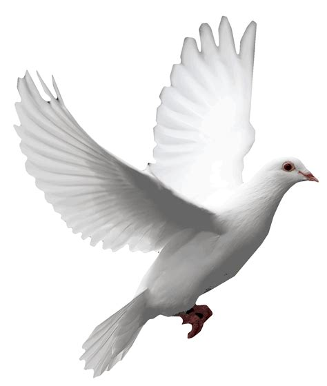 images of doves dove png png images