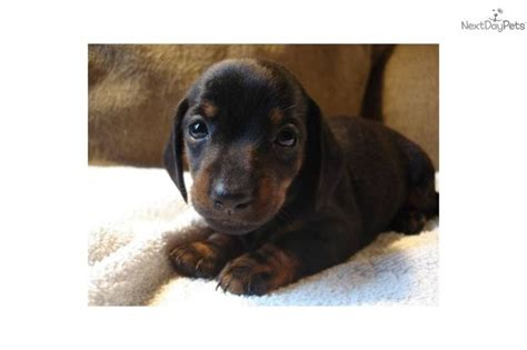 teacup dachshund puppies for sale near me teacup doxie precious mini dachshund puppy for saledog dachshund mini puppy eba8f