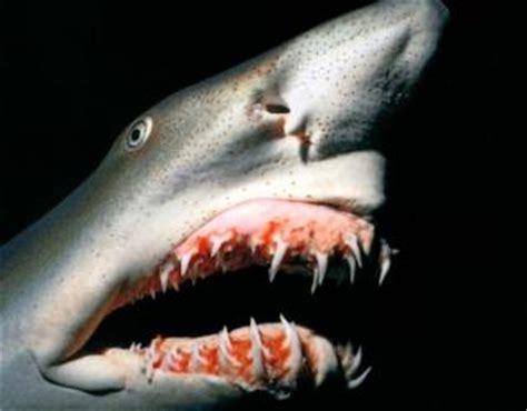 baby shark urban dictionary fun facts the goblin shark march 233 n 235 n 235