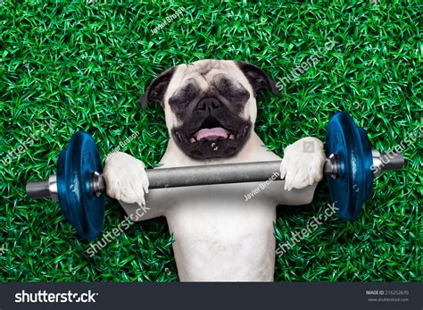 muscular pug pug personal trainer lifting stock photo 216252670