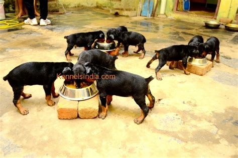 cheap doberman puppies for sale free dogs in chennai breed dogs spinningpetsyarn