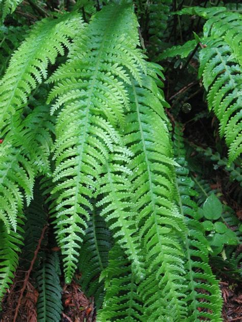 25 best ideas about evergreen ferns on pinterest autumn fern container plants and outdoor areas