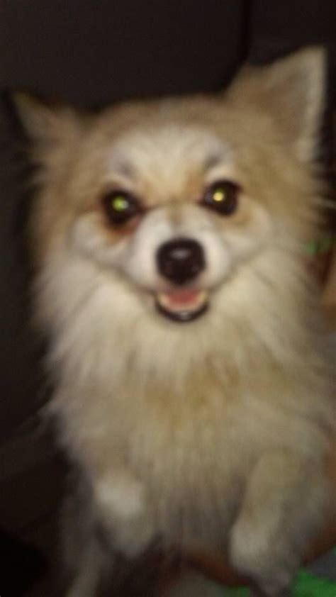 pomeranian jacksonville fl 33 best pomeranian us lost registry images on pomeranians
