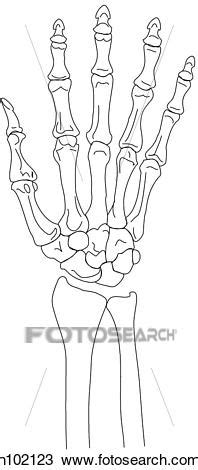 Wrist & hand skeleton, palmar Drawing | h102123 | Fotosearch
