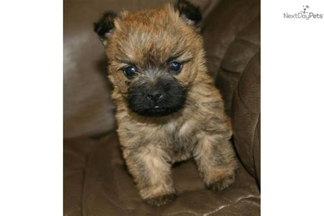 akc cairn terrier puppies for sale cairn terrier for sale for 650 near springfield missouri 9181d205 c3d1