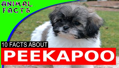 puppy facts and information peekapoo breed information pictures peekapoo puppies this