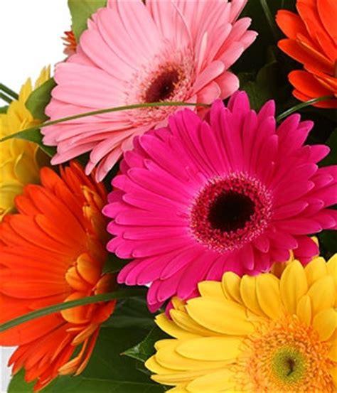 imagenes flores gerberas im 225 genes de flores y plantas gerbera