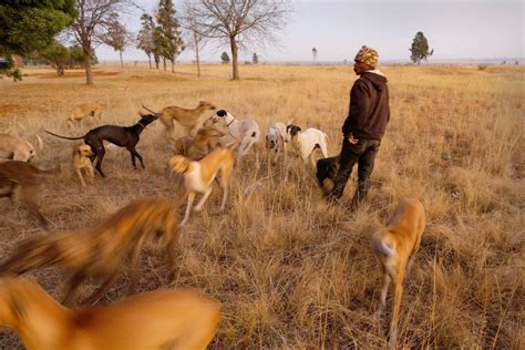 dogs in africa traditional in south africa faces growing controversy nbc news
