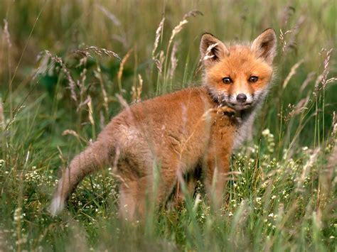 wallpapers the best fox wallappers