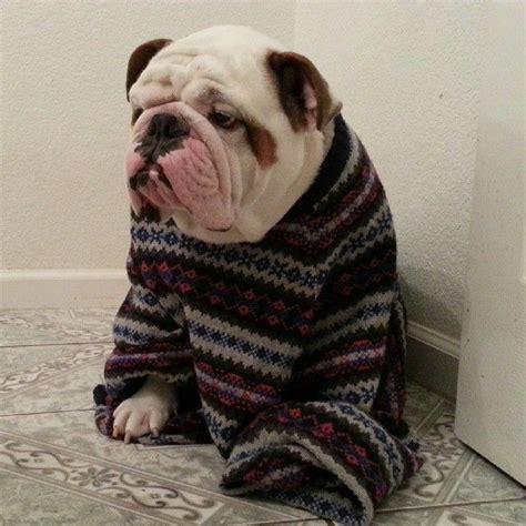 knitting pattern for english bulldog sweater pronto para o inverno bulldog ingl 234 s pinterest more